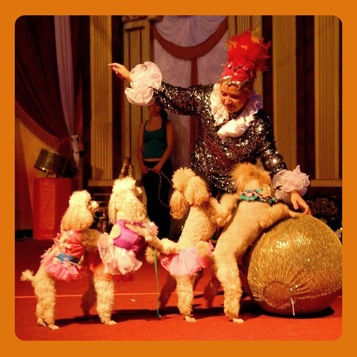 Poodle-show